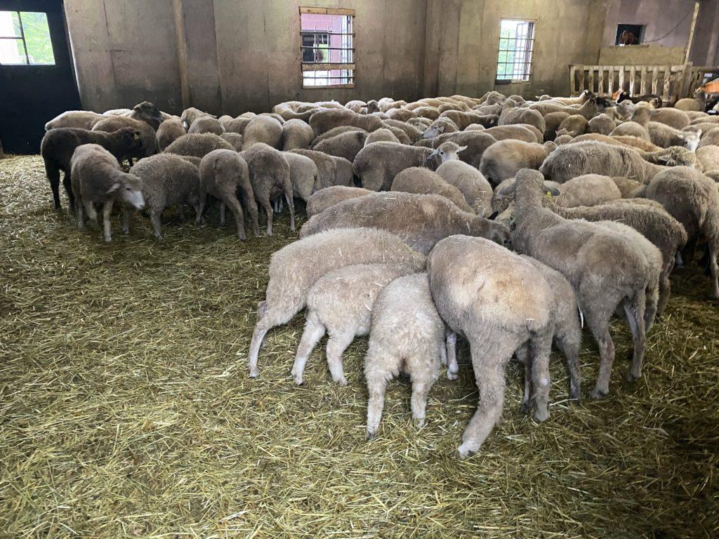 六甲山牧場|めい羊舎
